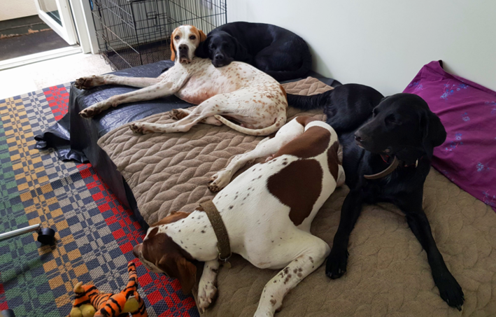Two english pointers and two springadors on a bed